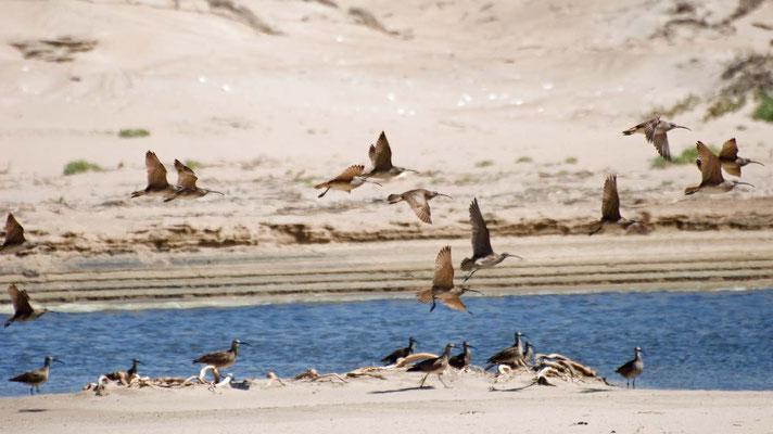 Regenbrachvögel, Guadalupe-Nipomo Dunes (Oso Flaco Lake), California
