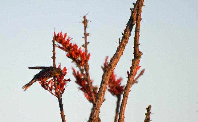 Kronwaldsänger an Ocotillo Blüten, Rockhound State Park, New Mexico