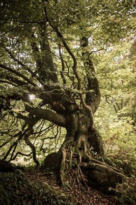 Zu einer Burg gehört ein märchenhafter Baum