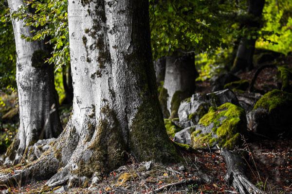 Wald und lauter Bäume