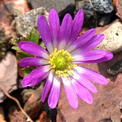 Anemone blanda 'Radar'