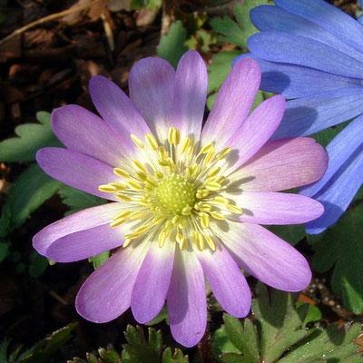 Anemona blanda 'Violet Star'