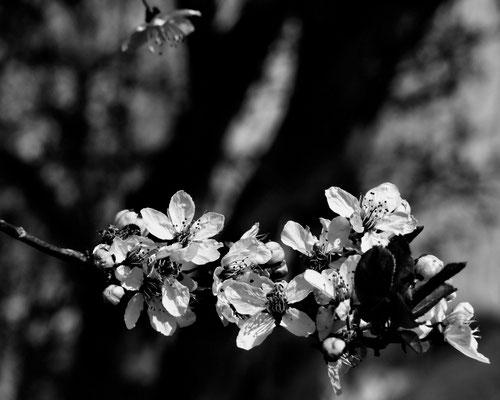 17/2016 Kirschblüte
