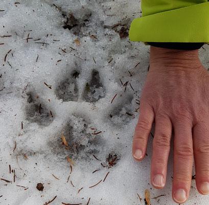 2019: Wolf track in Val Lumnezia, Switzerland