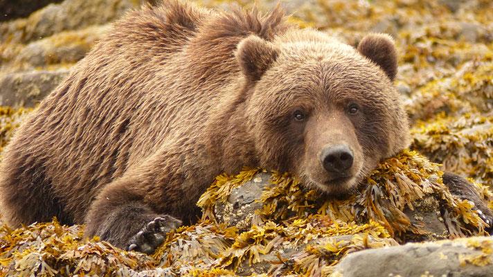 2015: Grizzly Bear in Lake Clark National Park, Alaska (USA)