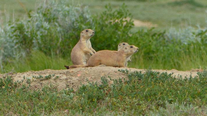 Prairie Dogs im Theodor Roosevelt N.P.