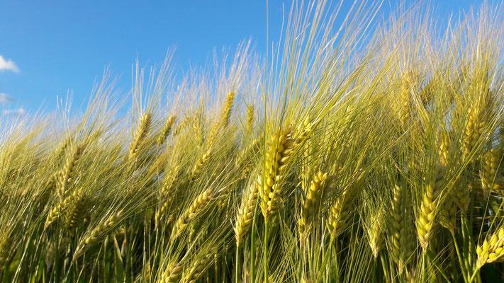 2017: wheatfield in Rümlang, Switzerland