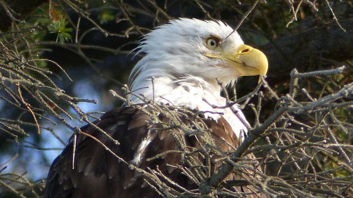 2015: Bald eagle in Homer, Alaska (USA)