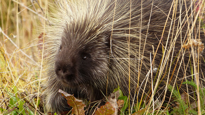 2015: porcupine in yukon (CAN)
