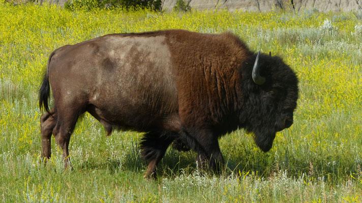 Bison im Theodor Roosevelt N.P.