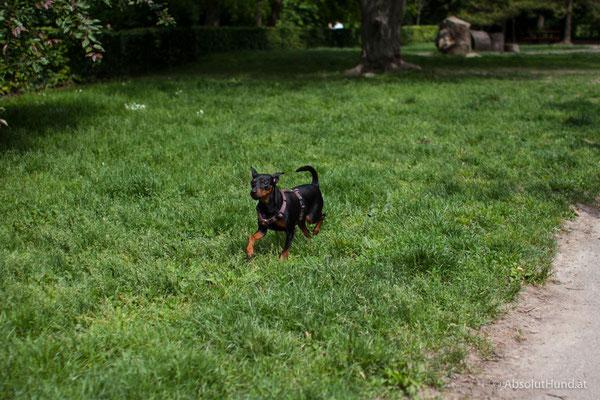Coco, Wien Hundezone Türkenschanzpark