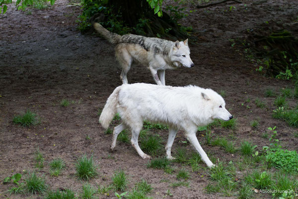 Wo Hund und Wolf sich treffen