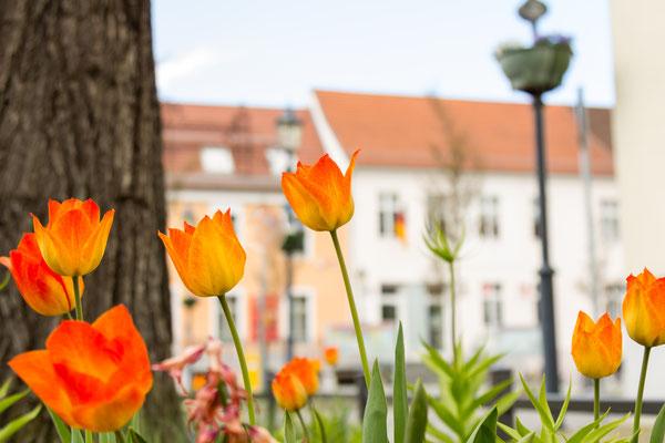 Tulpen vor dem Teltower Rathaus, Foto: Dirk Pagels