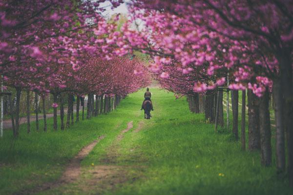 Kirschblütenallee in Teltow, Foto: Dirk Pagels