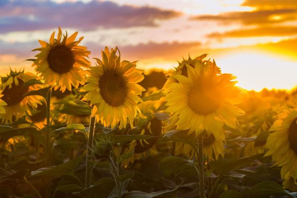 Sonnenblumen, Foto: Dirk Pagels, Teltow