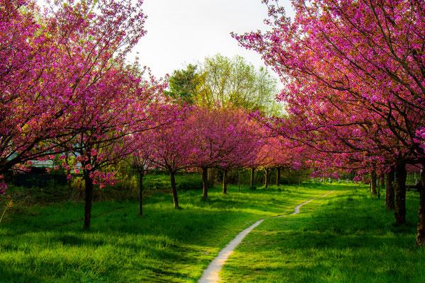 Kirschblütenallee Teltow-Seehof, Foto: Dirk Pagels, Teltow