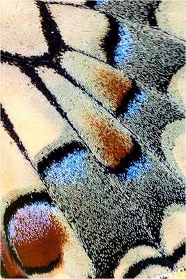 Schwalbenschwanz (Papilio machaon), Flügeldetail, Deutschland, Baden-Württemberg