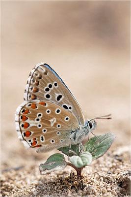 Himmelblauer Bläuling (Polyommatus bellargus), Männchen, Frankreich, Drôme