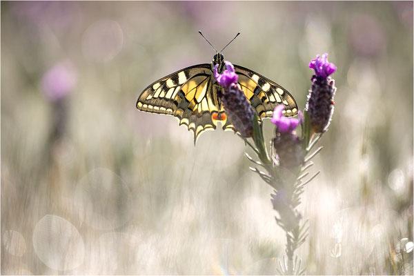 Schwalbenschwanz (Papilio machaon), Frankreich, Dep. Var