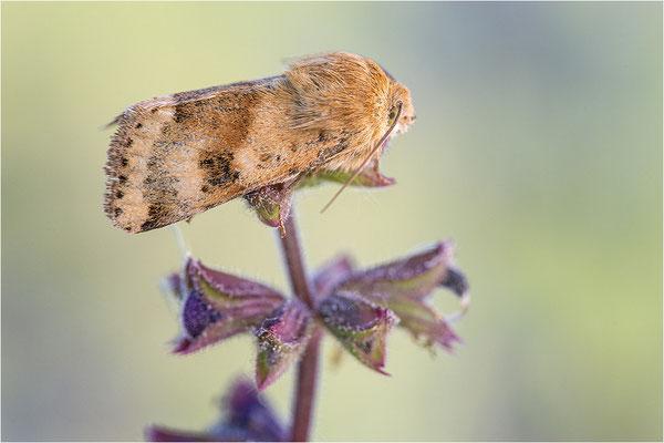 Karden-Sonneneule (Heliothis viriplaca), Deutschland, Baden-Württemberg