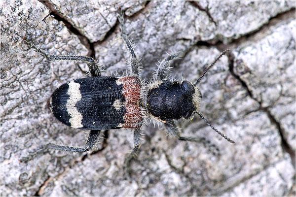 Eichen-Buntkäfer (Clerus mutillarius)
