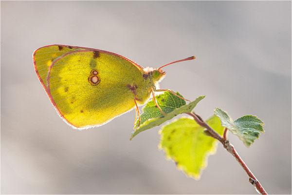 Gelbling (Colias spec.), Frankreich, Savoye