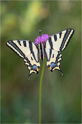 Südlicher Schwalbenschwanz (Papilio alexanor destelensis), Weibchen, Frankreich, Var