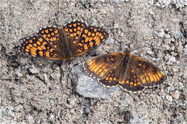 Wachtelweizen-Scheckenfalter (Melitaea athalia), aberrativ und normal gefärbtes Männchen, Italien, Region Aostatal, 1600m