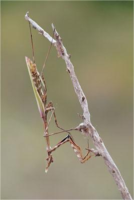 Hauben-Fangschrecke (Empusa pennata), Weibchen, Frankreich, Ardèche