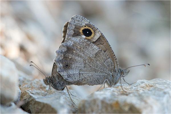 Eisenfarbiger Samtfalter (Hipparchia statilinus), Paarung, Frankreich, Dep. Drôme