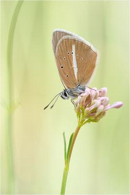 Weißdolch-Bläuling (Polyommatus damon), Männchen, Frankreich, Savoie, 1700m