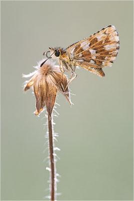Roter Würfel-Dickkopffalter (Spialia sertorius), Frankreich, Savoie