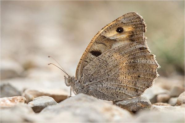 Berghexe (Chazara briseis), Weibchen, Frankreich, Dep. Drôme