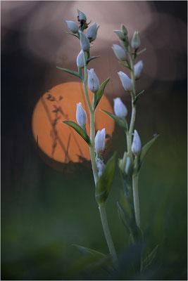 Weißes Waldvöglein (Cephalanthera damasonium), Deutschland, Baden-Württemberg