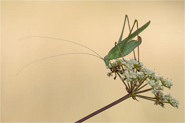 Lilienblatt-Sichelschrecke (Tylopsis lilifolia), Frankreich, Drôme