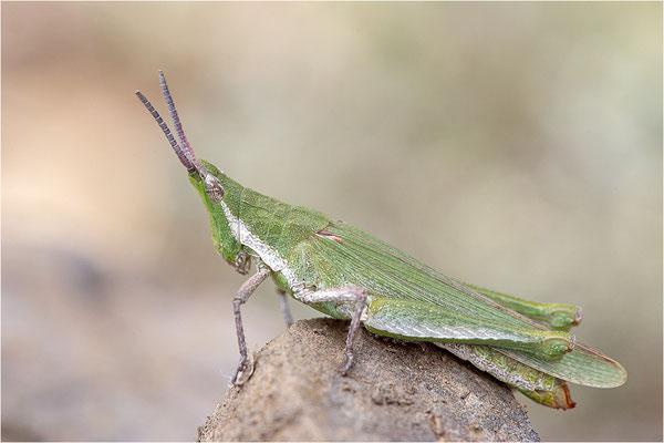 Kegelkopfschrecke (Pyrgomorpha conica), Frankreich, Dep. Pyrénées Orientales