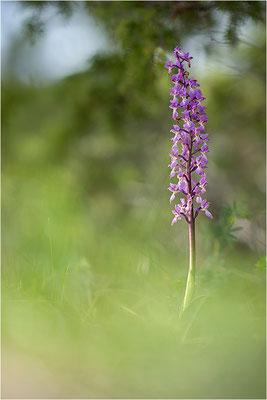 Manns-Knabenkraut (Orchis mascula), Schweden, Gotland