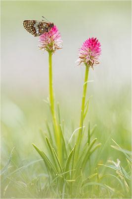 Bündner Scheckenfalter (Melitaea varia), Frankreich, Savoie, 2500m