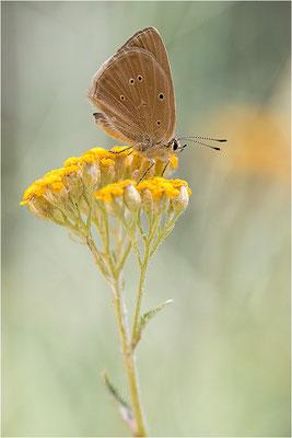 Piedmont-Bläuling (Polyommatus humedasae), Italien, Aosta
