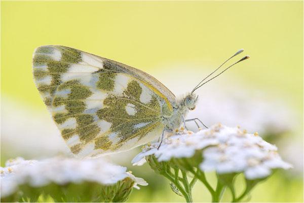 Resedaweißling (Pontia daplidice), Italien, Piemont