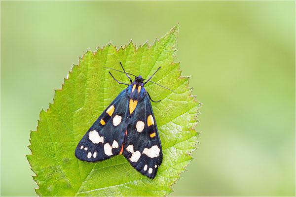 Schönbär (Callimorpha dominula), Deutschland, Baden-Württemberg