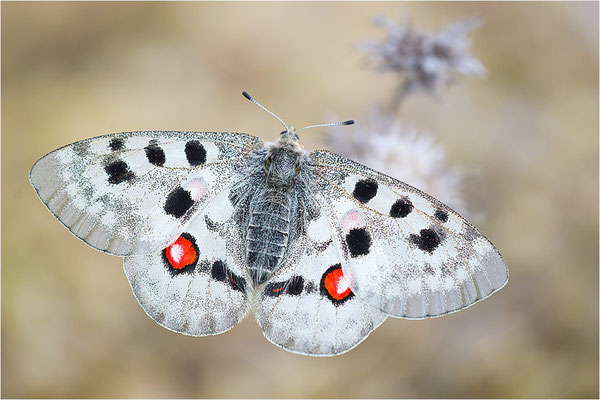 Roter Apollo (Parnassius apollo linnei)