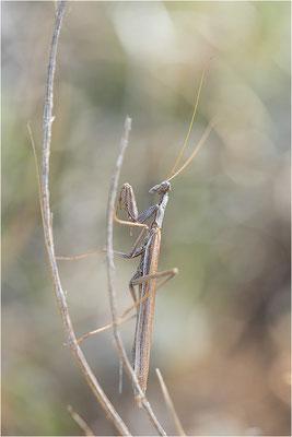 Graue Fangschrecke (Ameles decolor), Männchen, Frankreich, Drôme
