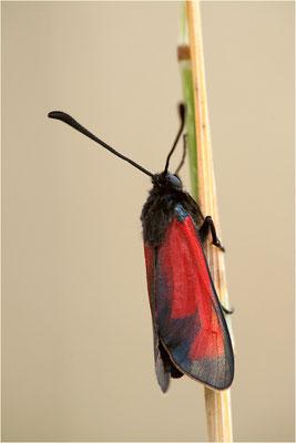 Mannstreu-Widderchen (Zygaena erythrus), Frankreich, Ardèche