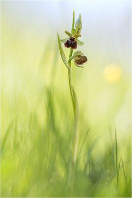 Spinnen-Ragwurz (Ophrys sphegodes), Südlicher Oberrhein, Baden-Württemberg
