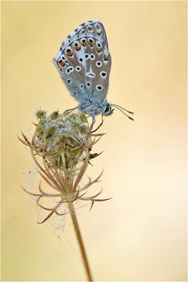 Himmelblauer Bläuling (Polyommatus bellargus), Männchen, Deutschland, Baden-Württemberg