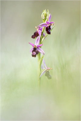 Ophrys drumana