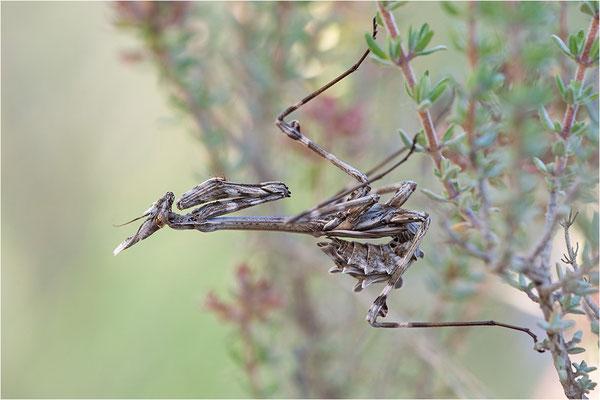 Hauben-Fangschrecke (Empusa pennata), Weibchen (subadult), Frankreich, Provence