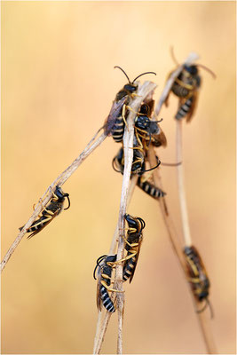Furchenbienen (Halictus scabiosae), Männchen, Schlafgemeinschaft, Frankreich, Drôme