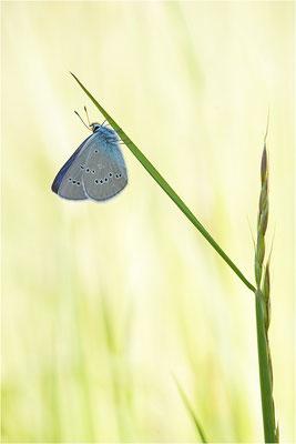 Rotklee-Bläuling (Cyaniris semiargus), Männchen, Schweiz, Wallis